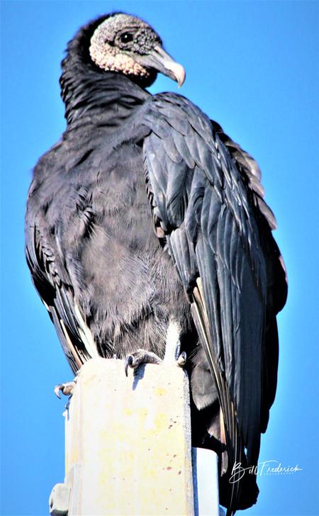 a buzzard with sign.jpg