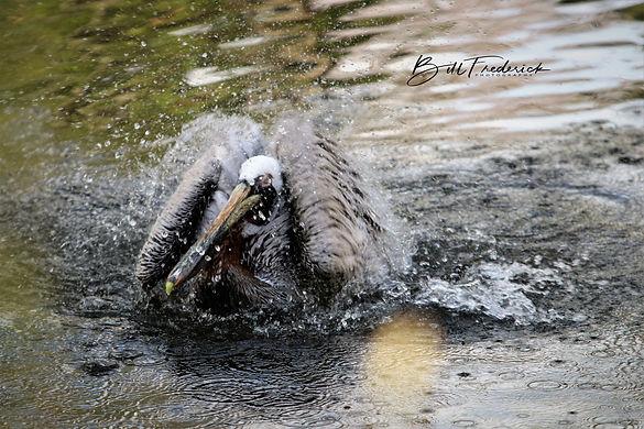 homosassa pelican bath WITH SIGN.jpg