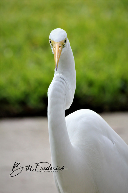heron headon WITH SIGN copy.jpg