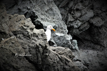 gull in rocks WITH SIGN.jpg