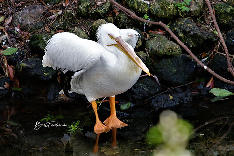 homosassa pelican feet WITH SIGN.jpg