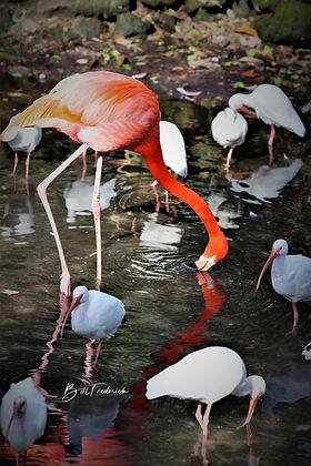 homosassa flamingo 2 WITH SIGN.jpg