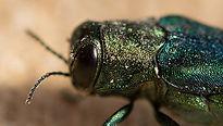 High Prioity Species- Hemlock Woolly Adelgid