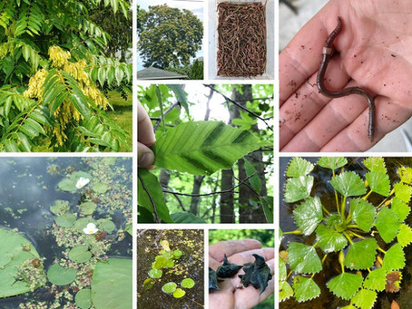 The 6th Annual Invasive Species Mapping Challenge