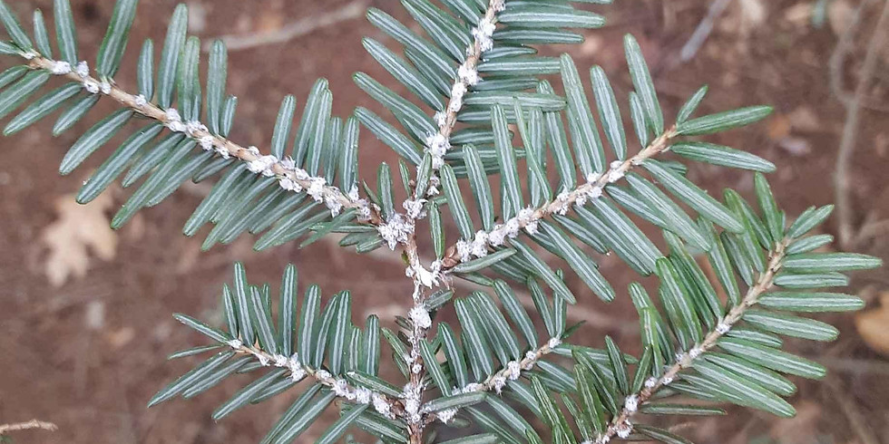 APIPP - Part 1 - Take Action Against Hemlock Woolly Adelgid – Impacts, ID, & Citizen Science