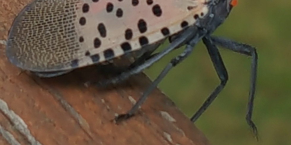 Identifying and Reporting Spotted Lanternfly and Tree-of-Heaven with iMapInvasives