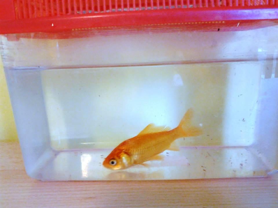 Il pesciolino in asilo