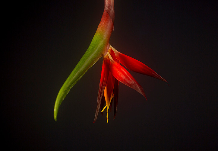 The Upside-Down Bird of Paradise