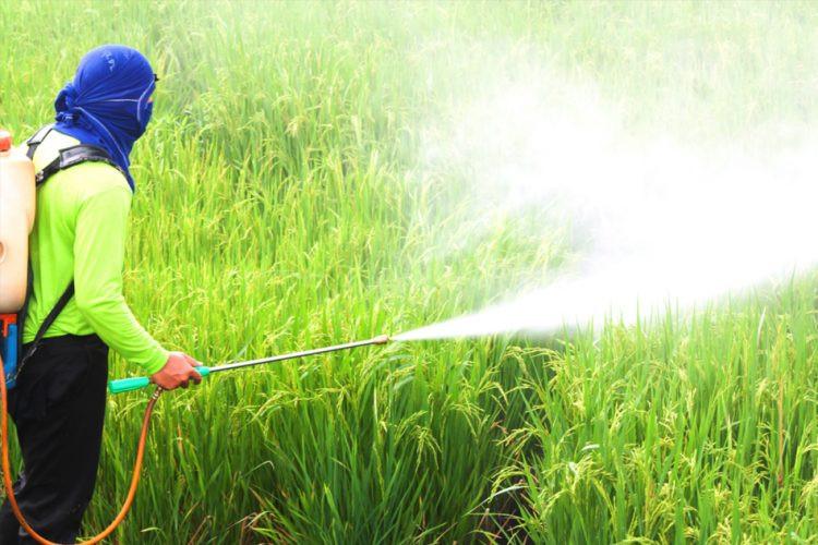 טבק במשקל ו- DDT