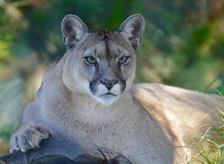 Pinning the cougar's tale on the Olympic planning committee