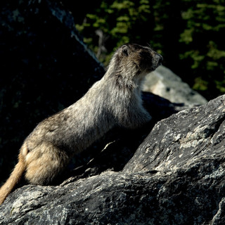 Hoary Marmot _ Marmota caligata D71_7429