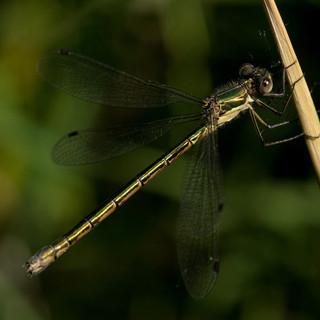 Emerald spreadwing_Lestes dryas D71_7894