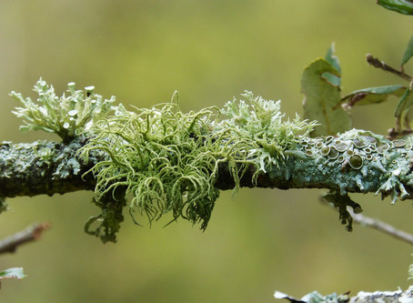 Lichen life in Whistler? You Betcha!