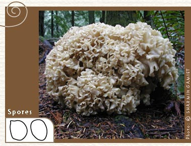 Cauliflower mushroom Sparassis crispa (Photo: Sharmin Gamiet)
