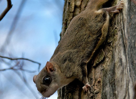 Whistler's northern flying squirrel
