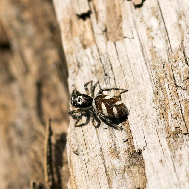 Zebra Jumping Spider_ Salticus scenicus