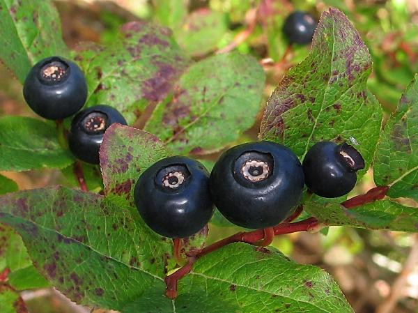 Black huckleberry (Photo: V. Skilton)