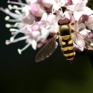 Hover fly _ metasyrphus americanus D71_7