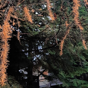 Best of both worlds—deciduous conifers