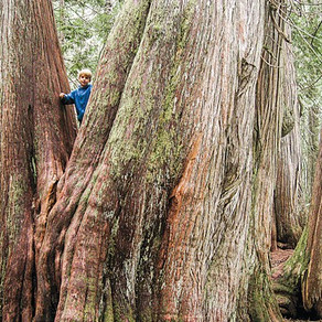 BioBlitz focuses on big and old trees