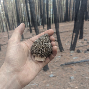 Morels are everywhere and impossible to find