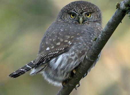 Northern Pygmy Owl—daytime hooter, friend to birders