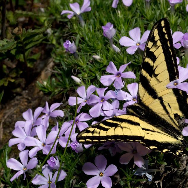 Western tiger swallowtail _ Papilio rutu