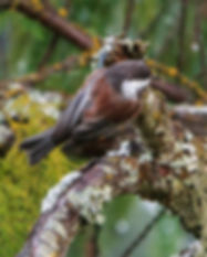 Whistler-Birding