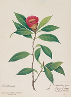 1.601 Painting of Camellia Hongkongensis by Eyre and the notes_.png