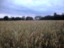 Zanni's field of heritage wheats