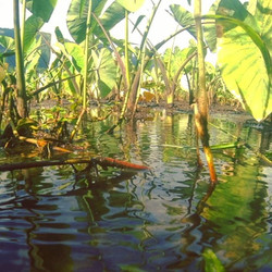 Healthy & productive #kalo require healthy #water and #mud