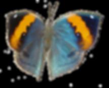 木の葉蝶5.png