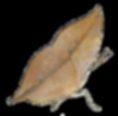 木の葉蝶2.png
