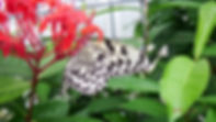 オオゴマダラの成虫