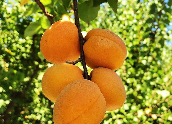 Tilton Apricots