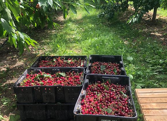 Tieton Cherries