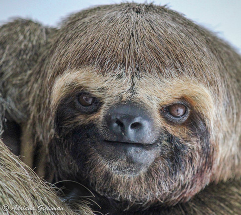Sloth-amazon-brazil-wildlife.jpg