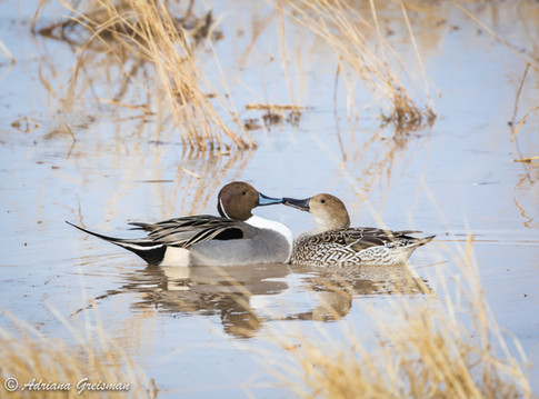 Ducks-Duck-Pintail-Northern-bird-kissing