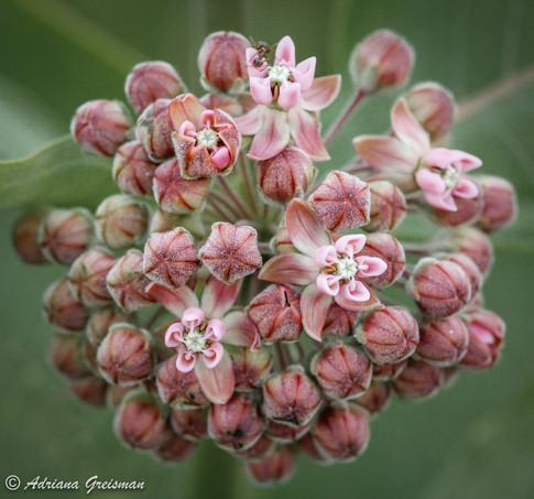 Wildflower-Botanical-forest-illinois.jpg