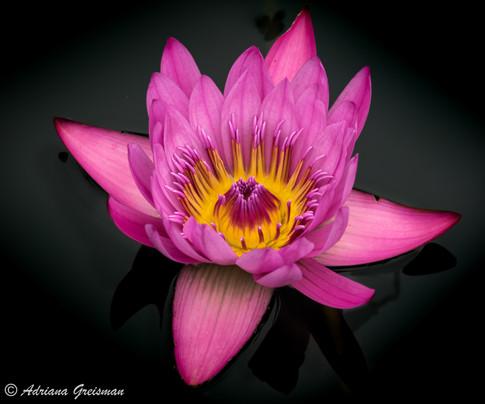 Water-Lily-Chicago-Botanic-Garden-Pink.j