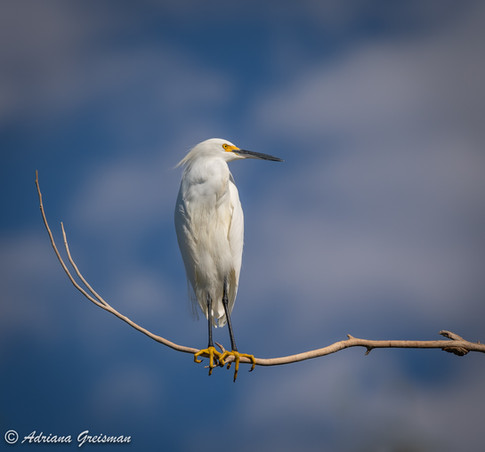 Snowy-egret-perch-bird.jpg