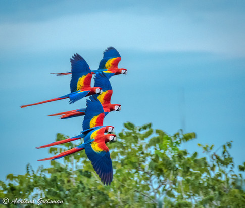 Scarlet-Macaws-flight-bird-Palenque-Mexi