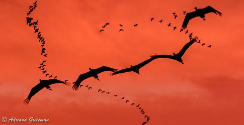 Sandhill-Cranes-Migration-Lines-pterodac