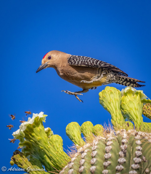 Gila-Woodpecker-jumping-bird-Arizona.jpg