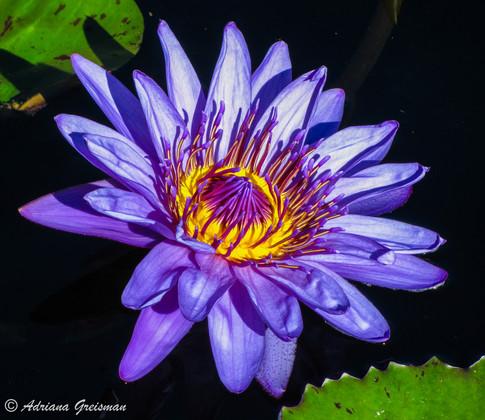 Water-Lily-Purple-Botanic-Garden-Chicago