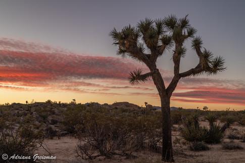 Joshua-Tree-Sunset-National Park.jpg