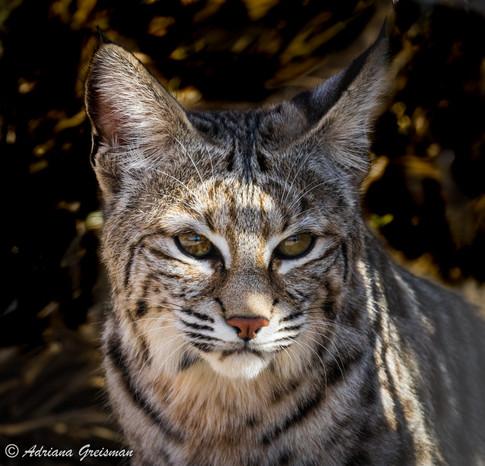 Bobcat-cat-arizona-feline-wildlife.jpg
