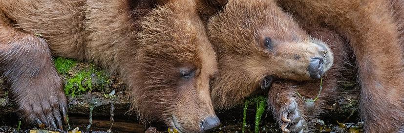 Grizzly-Bear-khutzeymateen-wildlife-brit