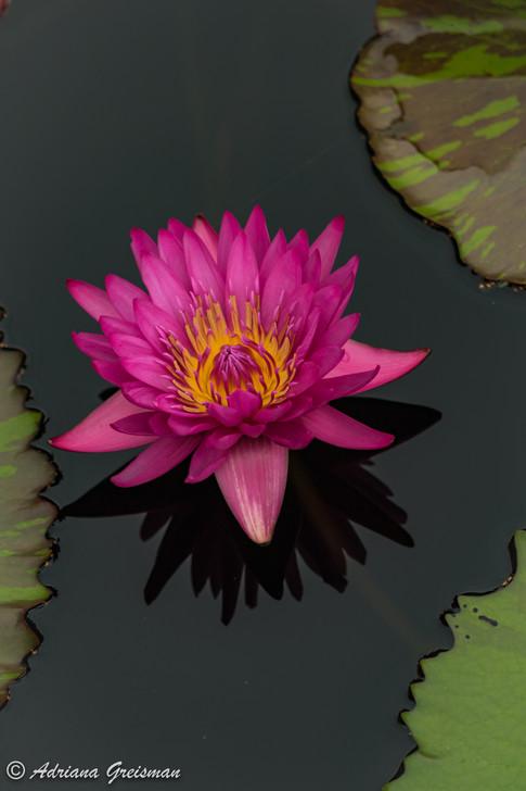 Water-Lily-Pond-Chicago-Botanic-Garden.j