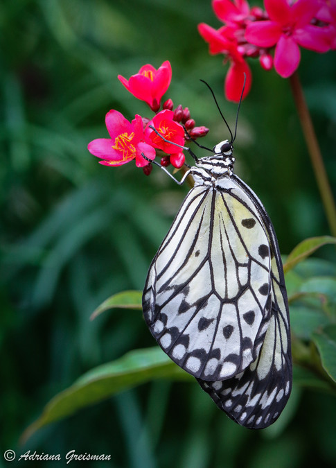 Paper-Kite-Butterfly-insect-bug-wildlife